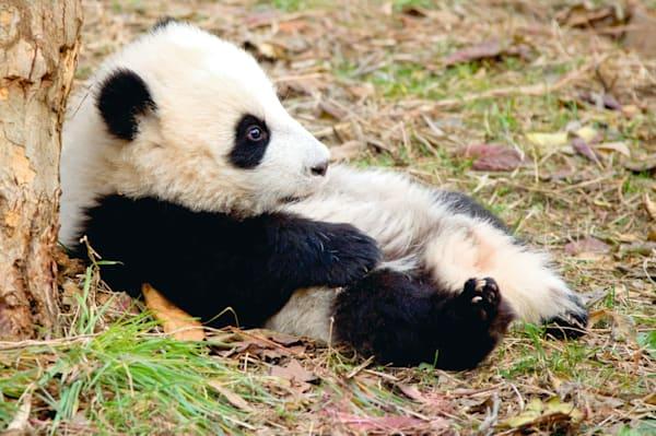 Pandas 041 Photography Art | Cheng Yan Studio