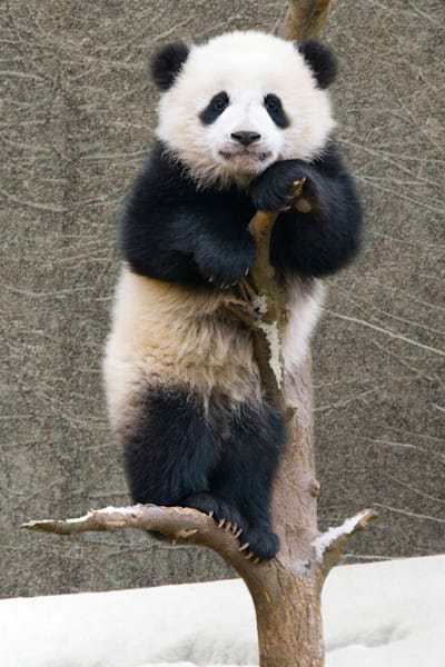 Pandas 040 Photography Art | Cheng Yan Studio