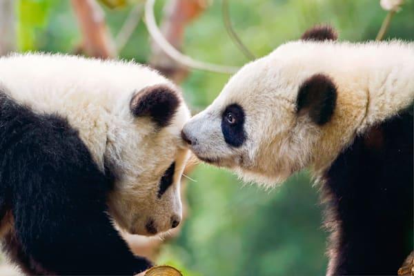 Pandas 045 Photography Art | Cheng Yan Studio