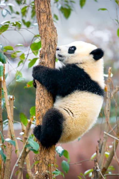 Pandas 050 Photography Art | Cheng Yan Studio