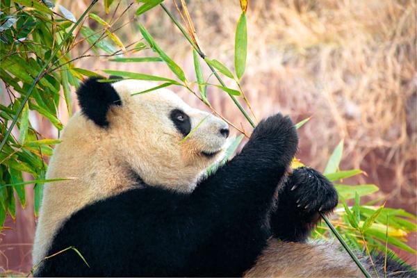 Pandas 046 Photography Art | Cheng Yan Studio