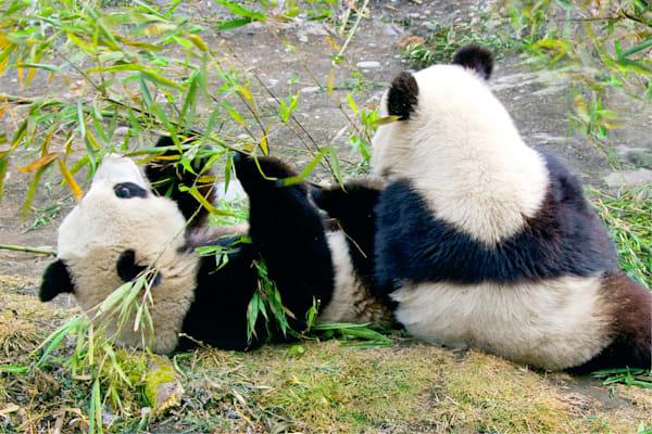 Pandas 047 Photography Art | Cheng Yan Studio