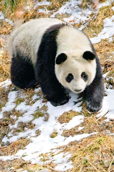 Pandas 049 Photography Art | Cheng Yan Studio