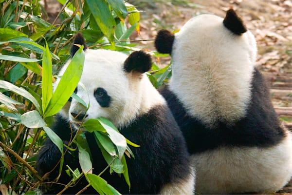 Pandas 048 Photography Art | Cheng Yan Studio
