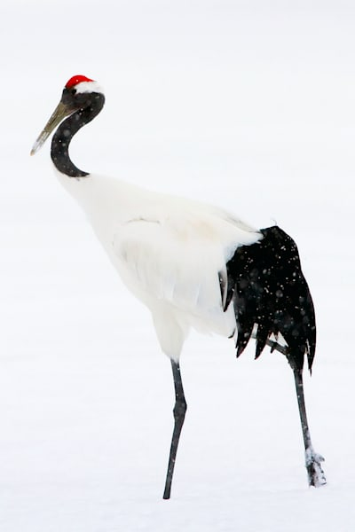 red-crowned-cranes-004