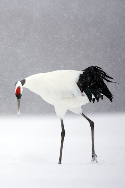 red-crowned-cranes-003
