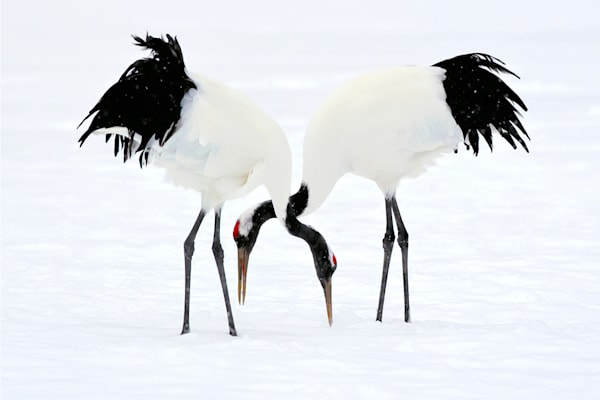 red-crowned-cranes-001