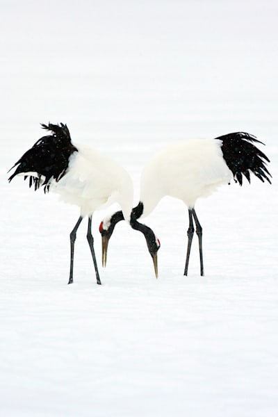 red-crowned-cranes-006