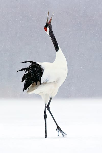 red-crowned-cranes-002
