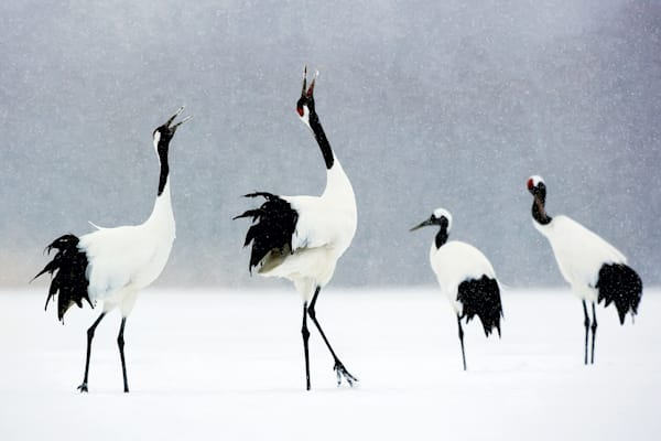red-crowned-cranes-007