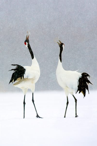 red-crowned-cranes-005
