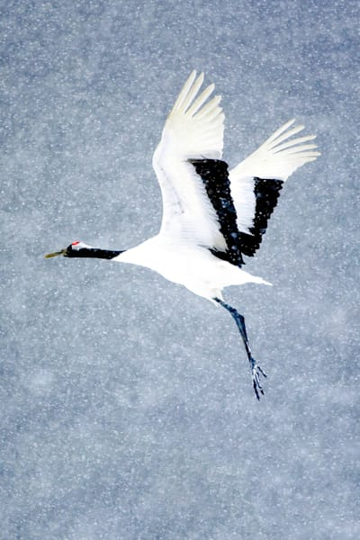 red-crowned-cranes-008