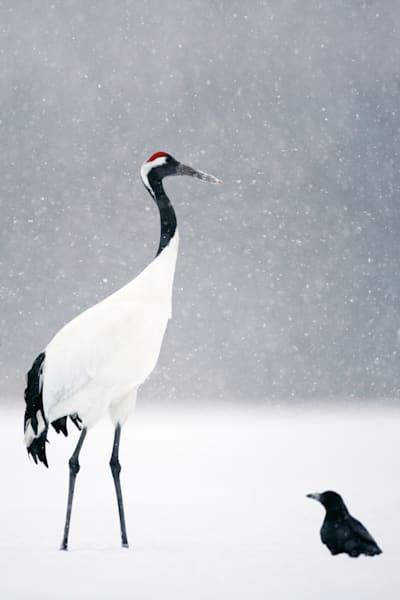 red-crowned-cranes-009