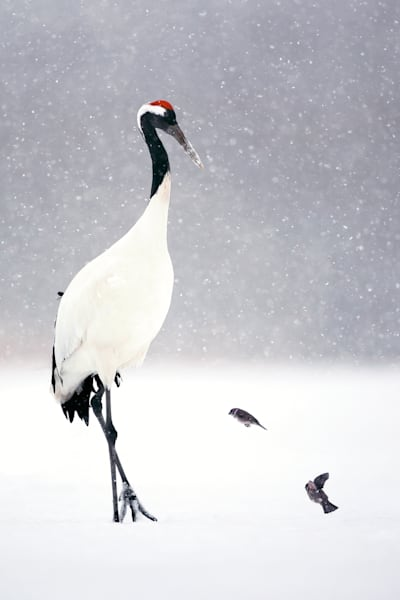 red-crowned-cranes-014