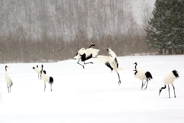 red-crowned-cranes-012