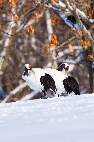 red-crowned-cranes-018