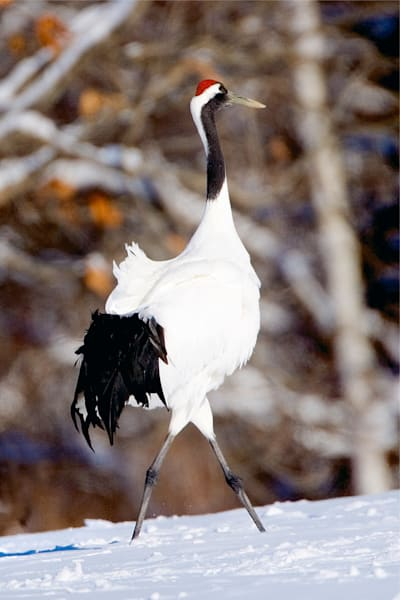 Red Crowned Cranes 017 Photography Art | Cheng Yan Studio