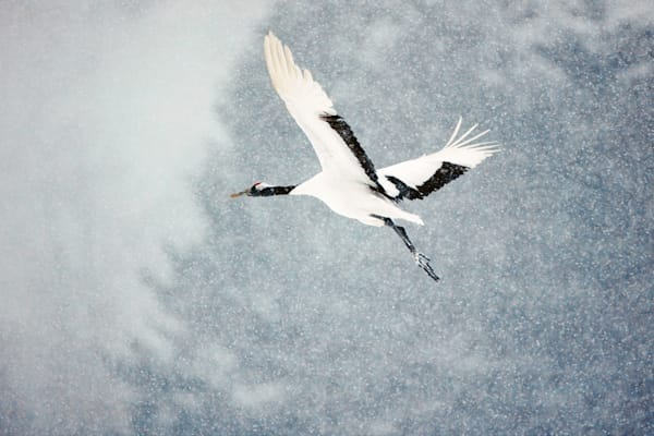 Red Crowned Cranes 015 Photography Art | Cheng Yan Studio