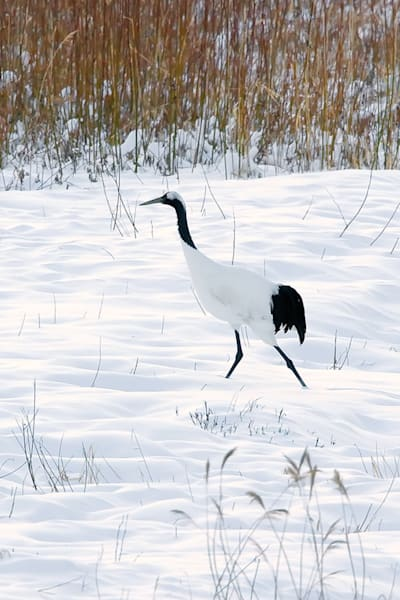 Red Crowned Cranes 016 Photography Art | Cheng Yan Studio