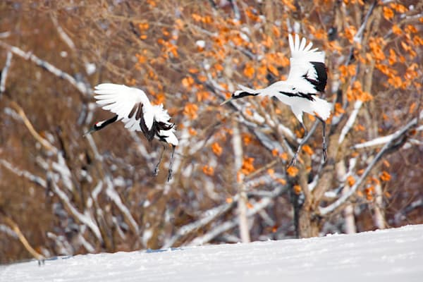 Red Crowned Cranes 020 Photography Art | Cheng Yan Studio