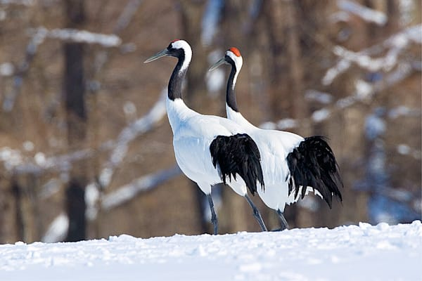 Red Crowned Cranes 019 Photography Art | Cheng Yan Studio