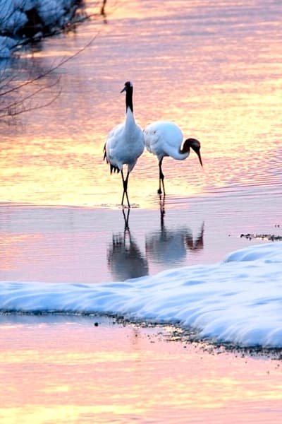 Red Crowned Cranes 022 Photography Art | Cheng Yan Studio