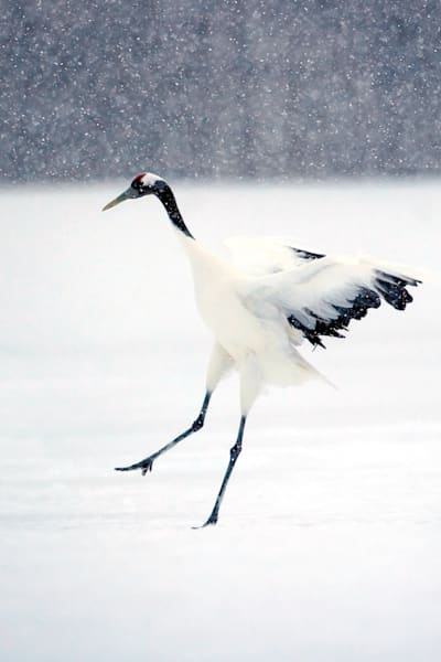 Red Crowned Cranes 023 Photography Art | Cheng Yan Studio