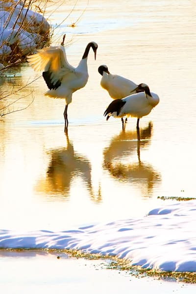 Red Crowned Cranes 024 Photography Art | Cheng Yan Studio