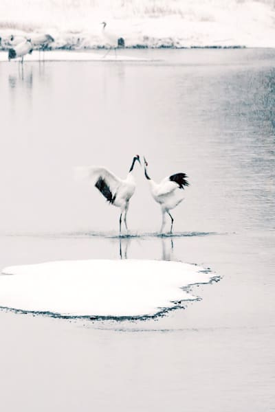 Red Crowned Cranes 028 Photography Art | Cheng Yan Studio