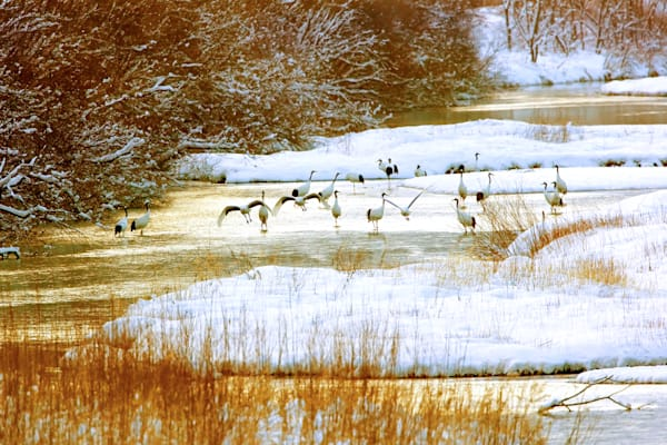 Red Crowned Cranes 025 Photography Art | Cheng Yan Studio