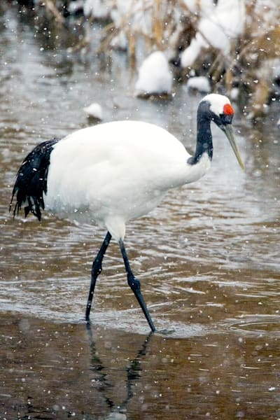 Red Crowned Cranes 030 Photography Art | Cheng Yan Studio