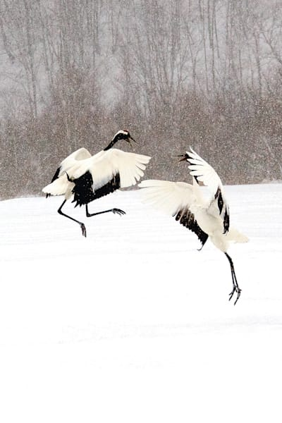 red-crowned-cranes-033