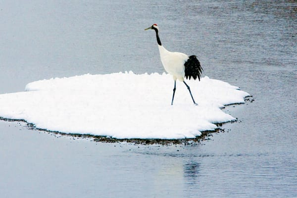 Red Crowned Cranes 035 Photography Art by www.chengyan.net