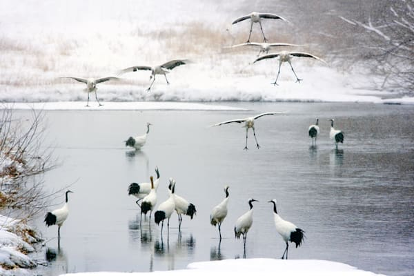 Red Crowned Cranes 034 Photography Art   Cheng Yan Studio