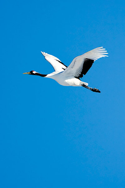 Red Crowned Cranes 038 Photography Art | Cheng Yan Studio
