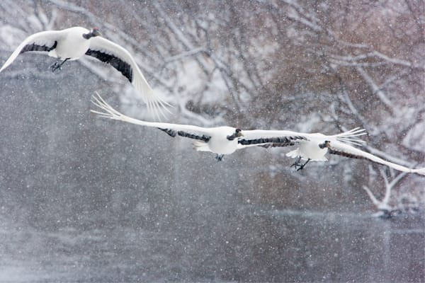 Red Crowned Cranes 036 Photography Art by www.chengyan.net