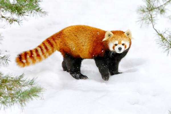 Red Pandas 005 Photography Art | Cheng Yan Studio