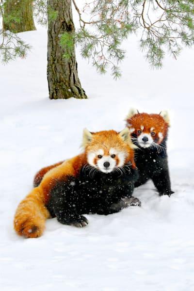 Red Pandas 003 Photography Art | Cheng Yan Studio