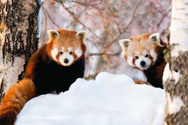 Red Pandas 012 Photography Art | Cheng Yan Studio