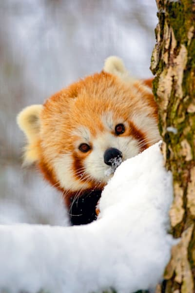 Red Pandas 011 Photography Art | Cheng Yan Studio