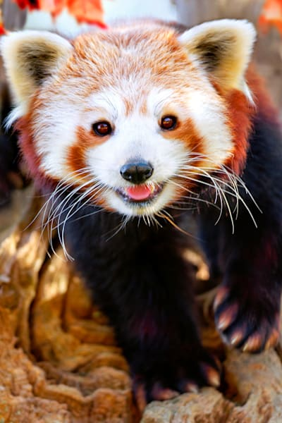 Red Pandas 008 Photography Art | Cheng Yan Studio