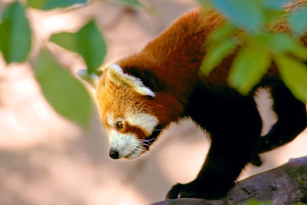 Red Pandas 015 Photography Art | Cheng Yan Studio