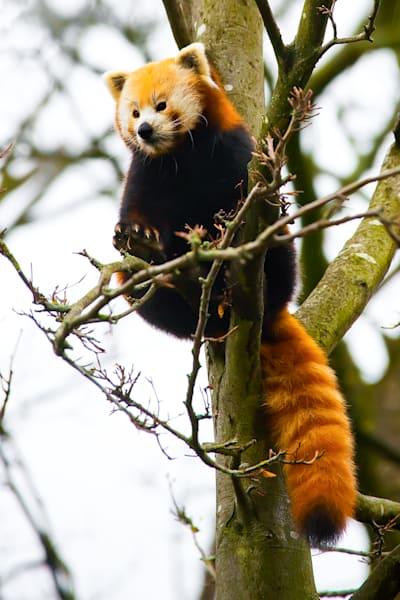 Red Pandas 016 Photography Art | Cheng Yan Studio
