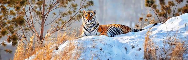 tigers-001