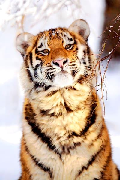 tigers-005