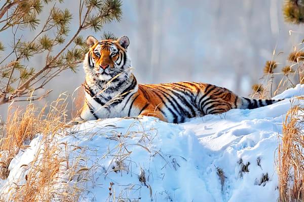 tigers-004