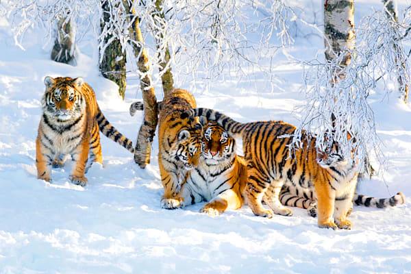 tigers-002