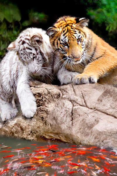 tigers-006