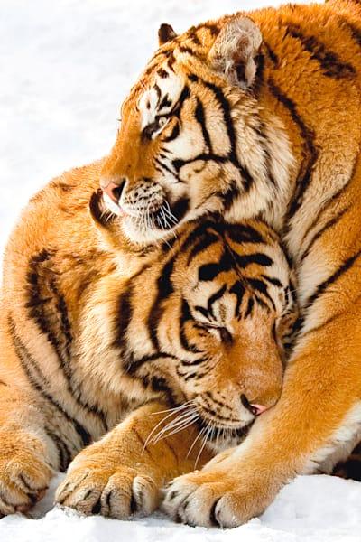 Tigers 009 Photography Art | Cheng Yan Studio