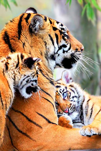 tigers-007